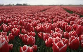 Розы и тюльпаны фото Розы тюльпаны